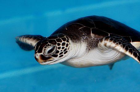 Tartaruga che Nuota