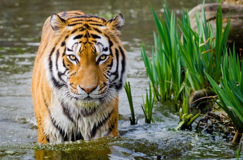 Tigre in Acqua Pronta per l'Attacco