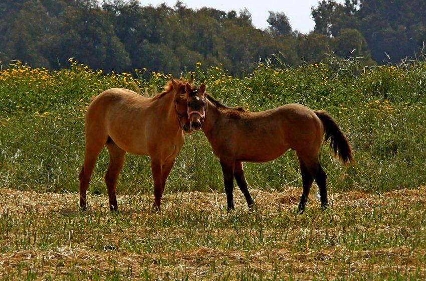 Cavalli molto Dolci