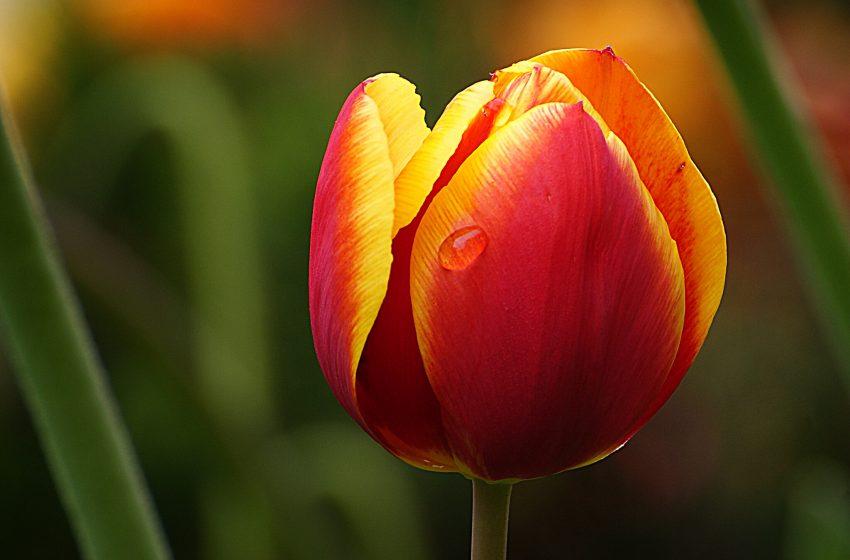 Tulipano Rosso e Giallo in Macro