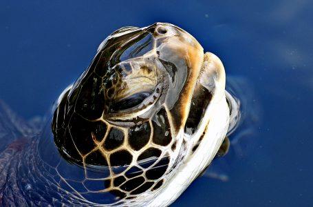 Tartaruga con la Testa Fuori dall'Acqua