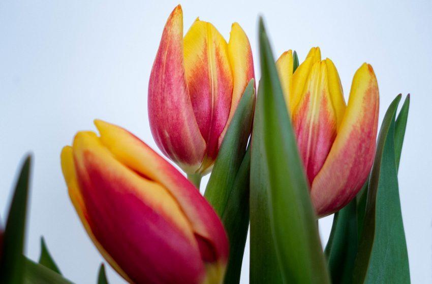 Tulipani Chiusi