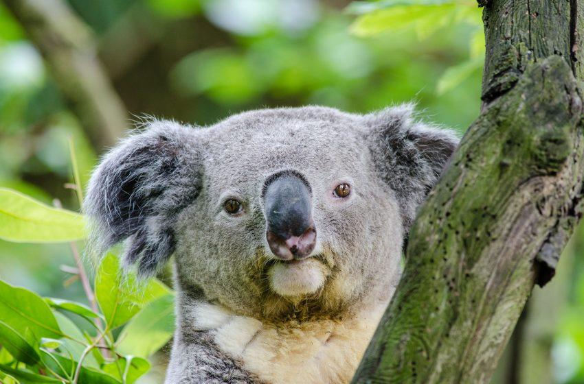Koala con Sguardo Serio