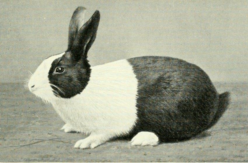 Coniglio in Bianco e Nero