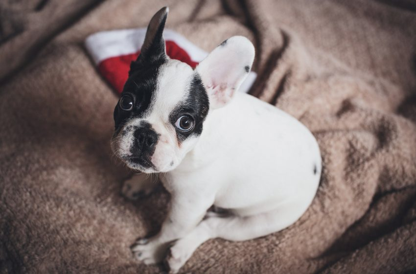 Cucciolo di Bulldog Francese Seduto