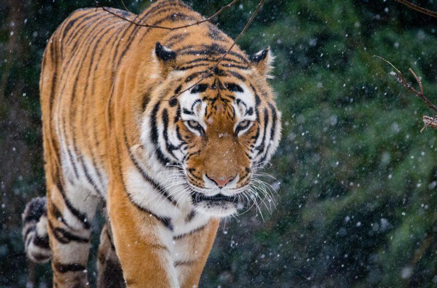 Tigre in Natura