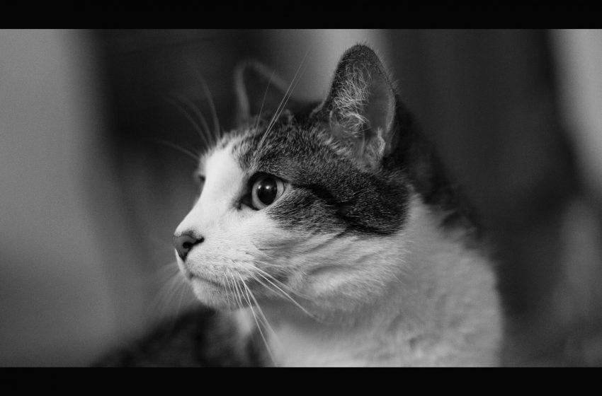 Gatto in Bianco e Nero