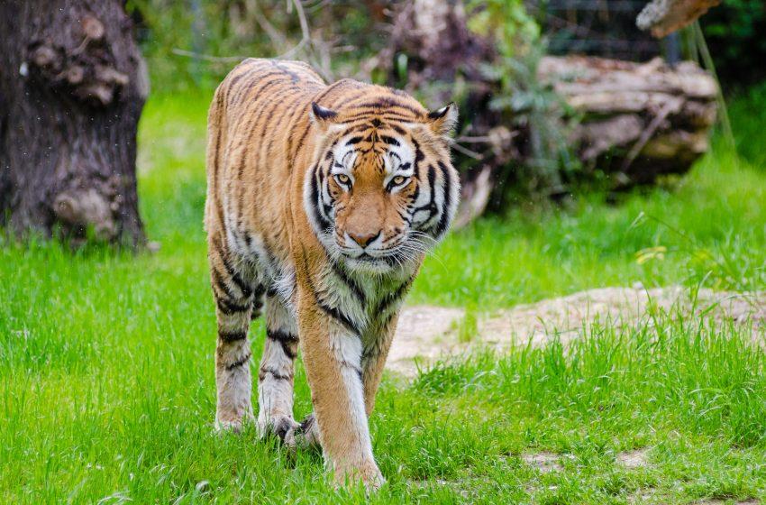 Tigre in Tutta la sua Eleganza