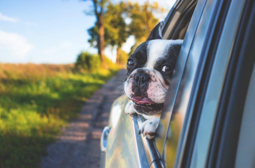 Bulldog Francese con la Testa Fuori dal Finestrino