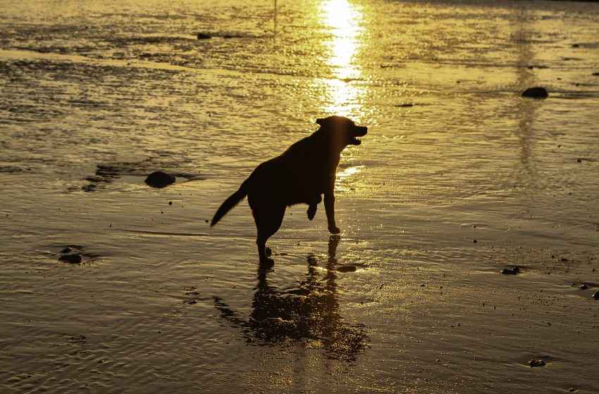 Labrador Retriever che Corre su Sabbia Bagnata