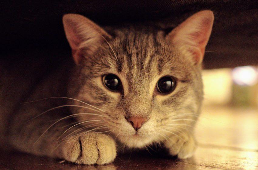 Gatto con gli Occhi Dolci