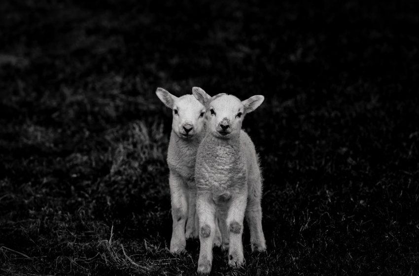 Cuccioli Di Pecora in bianco e nero