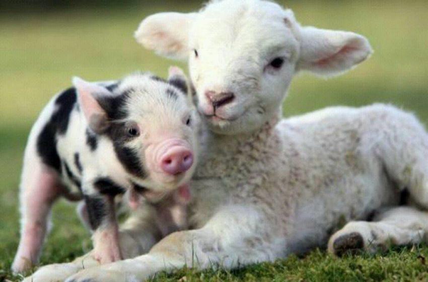 cucciolo di maialino e un cucciolo di pecora