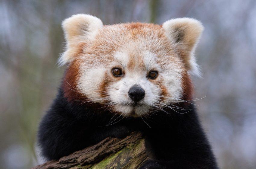 Panda Rosso con Faccia Seria