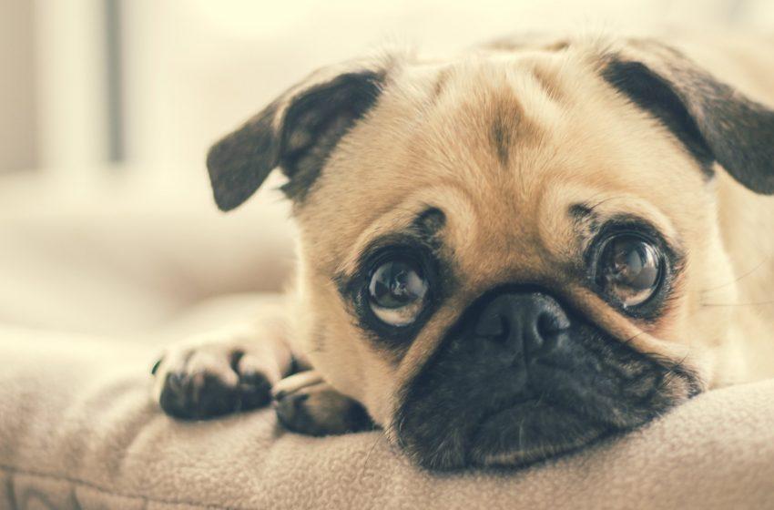 Cane con Grandi Occhi