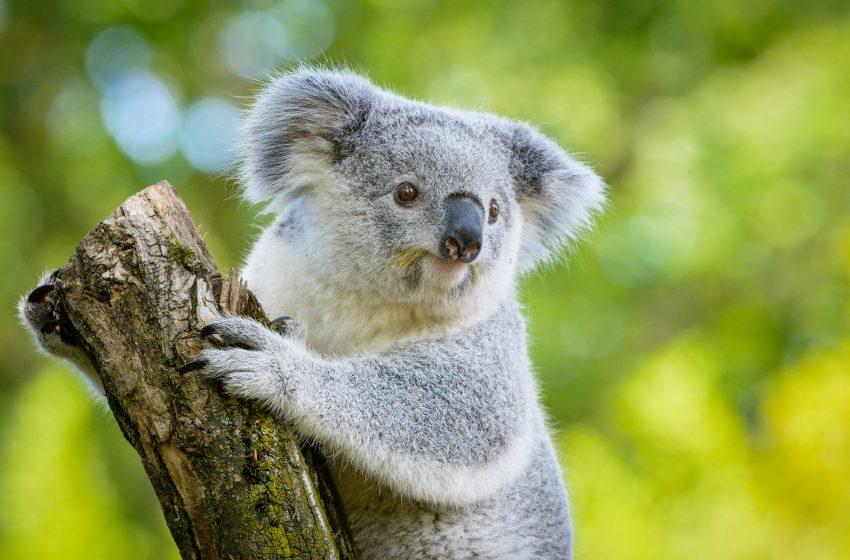 Koala che Mangia su un Tronco