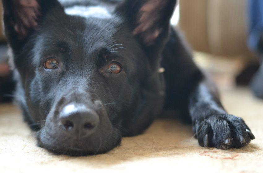 Labrador Retriever Nero Disteso Per Terra