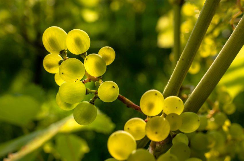Acini d'Uva attraversati dai Raggi del Sole