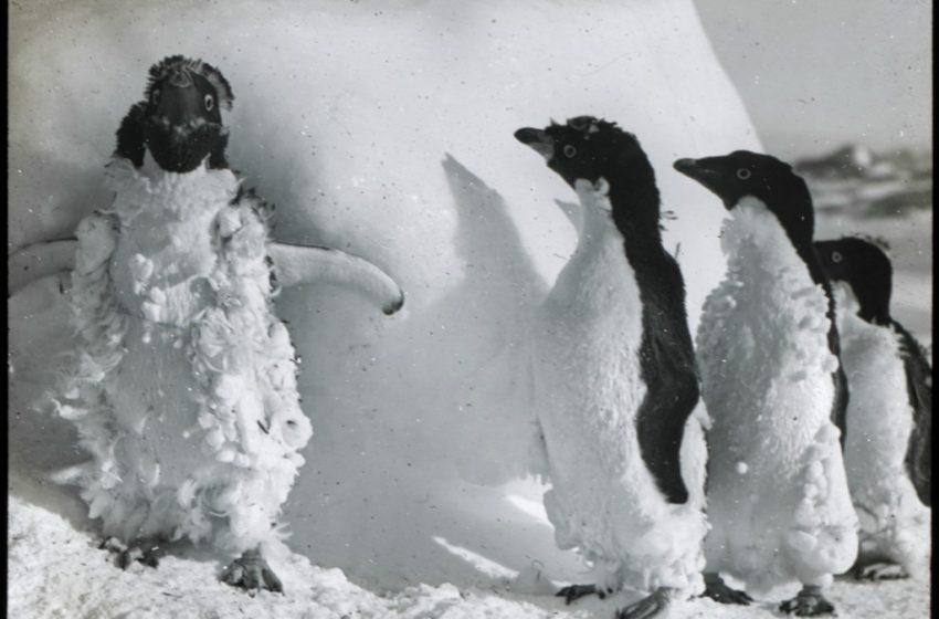 Pinguino un po' Imbranato