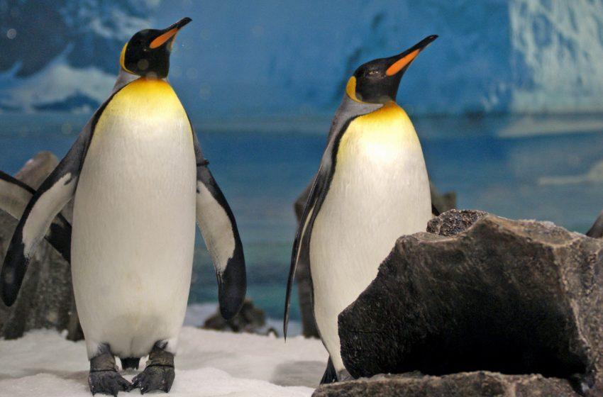 Pinguini Reali che si pavoneggiano