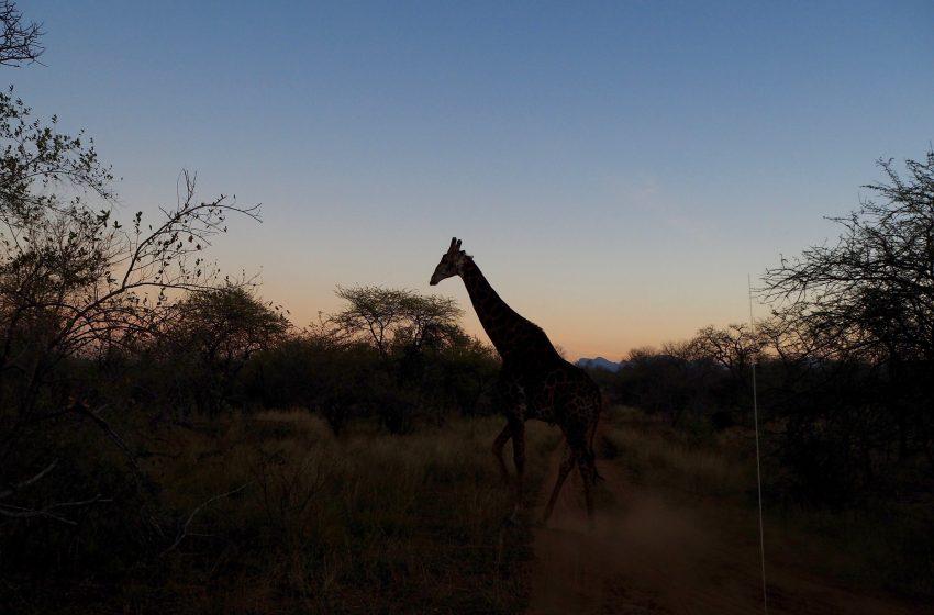 Giraffa in Africa