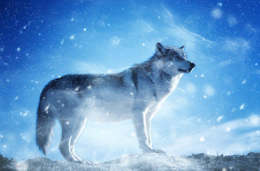 Lupo nella Neve