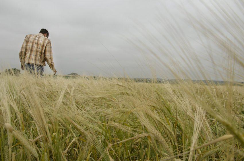 Uomo che passeggia in un Campo di Grano