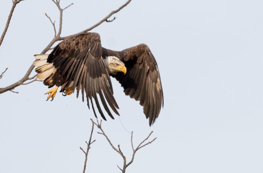 Aquila che Spicca il Volo