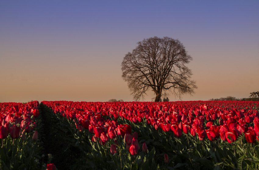 Campo di Tulipani In piena Primavera